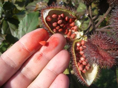 lurucum une plante pour prparer sa peau au soleil - Colorant Alimentaire Naturel Bio