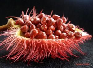 Urucum: la plante amazonienne qui protège naturellement la peau