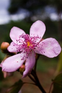 Fleur d'Urucum du Brésil